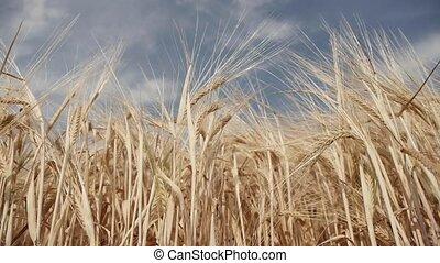 Barley - barley on a summer day
