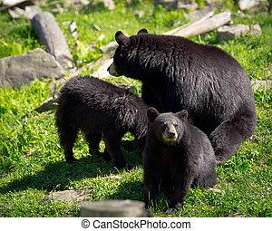 três, pretas, Ursos, -, mãe, dois, filhotes