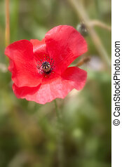Corn Poppy - Papaver rhoeas in a Macro shot