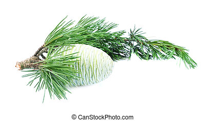Branch of a young cedar with the cone