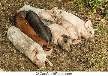 Sleeping piglets - Little piglets sleeping in farm