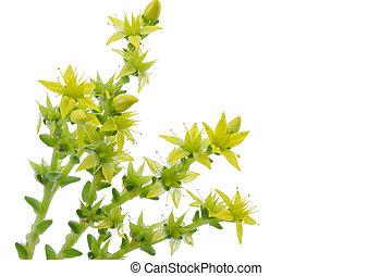 Sedum acre, stonecrop or crassula closeup