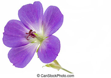 Purple Cranesbill flower on white background (Geranium)