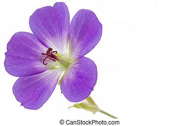 Purple Cranesbill flower on white background (Geranium)