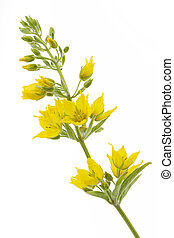 Lysimachia punctata flower on white background - Lysimachia...