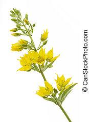 Lysimachia punctata flower on white background - Lysimachia...