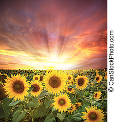Sunflower field - Evening vibrant scenery with sunflowers