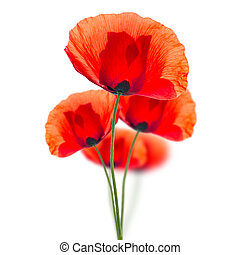 Red poppies isolated on white - Red field poppies (Papaver...
