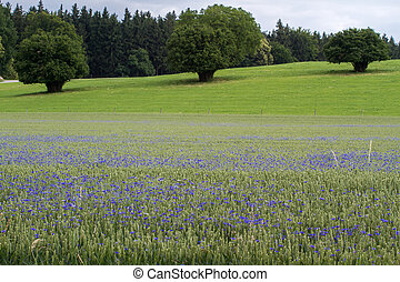 Blooming Cornflowers Centaurea cyanus in a wheat field in...