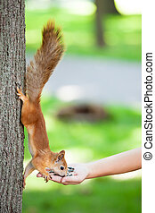 Caring for animals - Human feeding a squirrel from the palm...