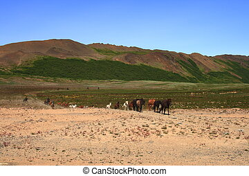 pferden, island