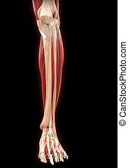 Lower Legs Muscles Anatomy - Illustration of Lower Legs...