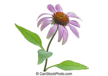 Echinacea flower on white background - Single echinacea...