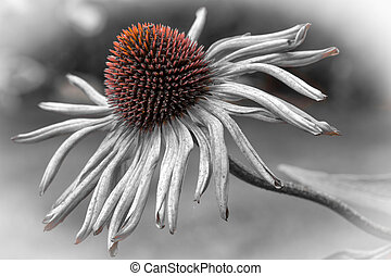 Single echinacea purpurea flower fading in the garden