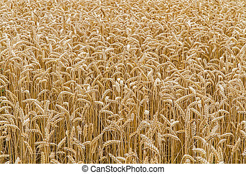 Wheat field closeup, format filling