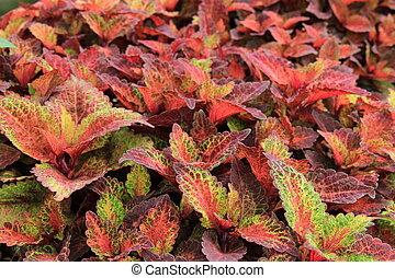Colorful foliage of coleus plants