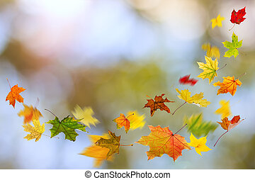 Autumn colored leaves falling - Maple colored autumn falling...