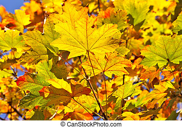 Colorful autumnal leaves.