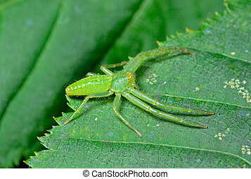 Spider on leaf - A close up of the small green spider on...