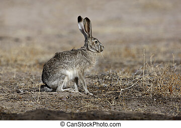 Black-tailed jack rabbit, Lepus californicus, New Mexico,...