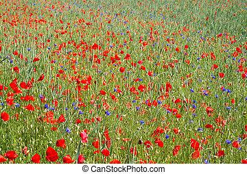 Blooming poppy field (Papaver Rhoeas) in Bavaria, Germany
