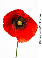 Blooming poppy Papaver Rhoeas, isolated on white