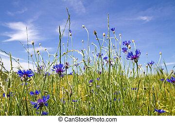Blooming Cornflowers Centaurea cyanus