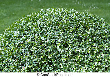 Box tree plant (Buxus sempervirens) - Box tree plant (Buxus...