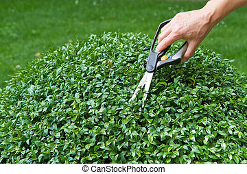Trimming a box tree plant (Buxus sempervirens) - Trimming a...