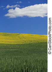 Rolling Hillside of Canola Flowers With Blue Sky and Cloud