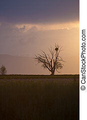 Cottonwood Tree With Nest on the Eastern Plains