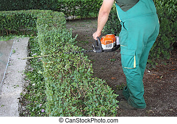 Man trimming hedge - A man trimming hedge in city park