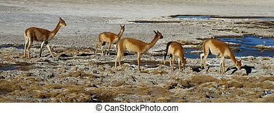 Vicuna - Typical south american wild cameloid