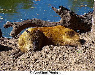 Capybara - World's biggest rodent (Bolivia)