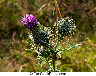 Thistle plant with sharp prickles
