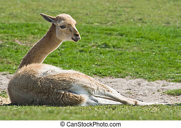 Vicuna resting on the sand in the sun
