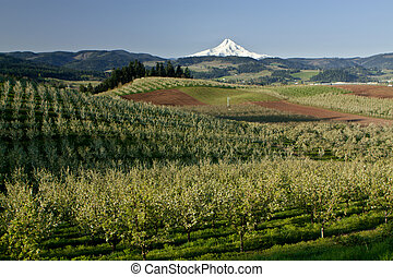 Mt Hood From Fruit Orchards in Hood River Oregon