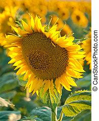Sunflower Fields in Summer
