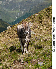 Alpine cow in Sellrein area Austria