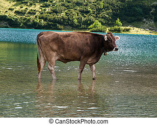 Bathing cow in Tirol Alps Austria