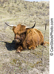 Cattle scottish Highlanders, Zuid Kennemerland, Netherlands