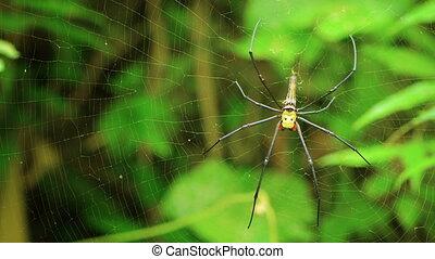large female Nephila spider
