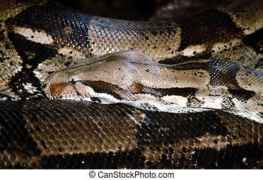 Python, African Rock G-1762 - Python sebae is a non-venomous...