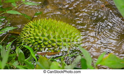 fruit durian fallen into a creek - The fruit durian fallen...