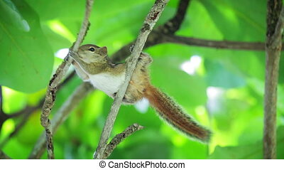 Palm squirrel chipmunk gnaws wood branch