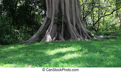 large tropical tree in the forest - A large tropical tree in...