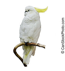 cockatoo,  yellow-crested