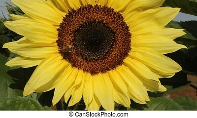bee on a sunflower - honey bee collecting nectar on a large...