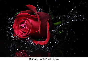 red rose splashing into the water on a black background
