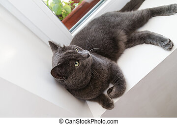 british shorthair cat on window